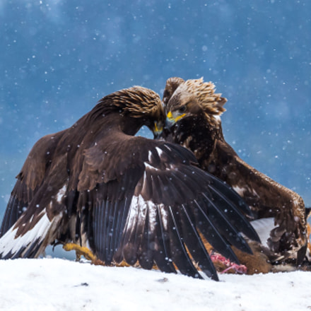 Eagle fight, Nikon D4S, AF-S VR Nikkor 200mm f/2G IF-ED