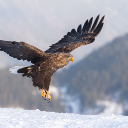 Golde Eagle in winterland, Nikon D4S, AF-S VR Nikkor 200mm f/2G IF-ED