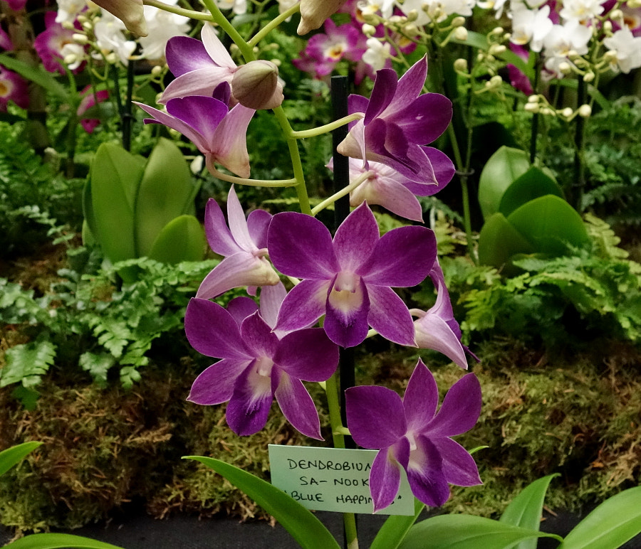 Orchid Show, 2017, London, UK by Sandra on 500px.com