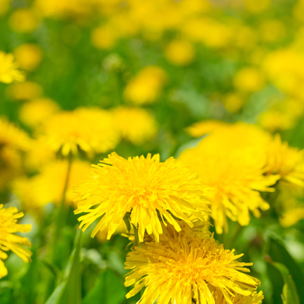 Yellow dandelions on the, Nikon D800, Sigma Macro 70mm F2.8 EX DG