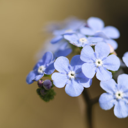 Great forget me not, Canon EOS 70D, Sigma 180mm f/2.8 EX DG OS HSM APO Macro