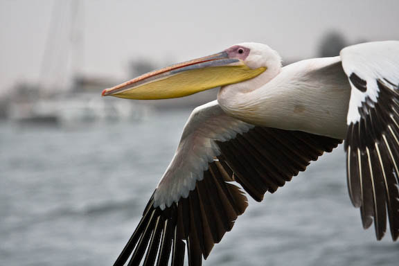 Photograph Pelican by Dan Wright on 500px