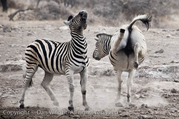 Photograph Zebras Fighting by Dan Wright on 500px