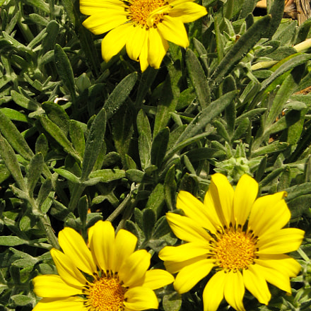 Dusted yellow, Canon POWERSHOT S5 IS