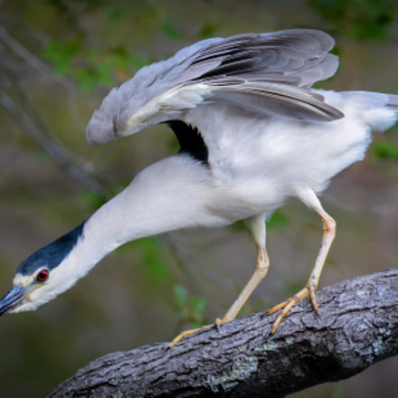 Black-Crowned Night-Heron, Nikon D7100