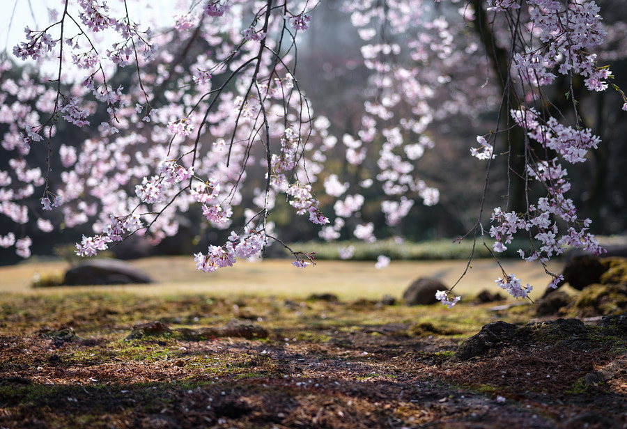 sakura by Pierre Caillault on 500px.com