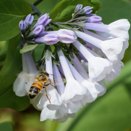 Honeybee on Virginia Bluebells, Nikon D7100, AF Nikkor 70-210mm f/4-5.6