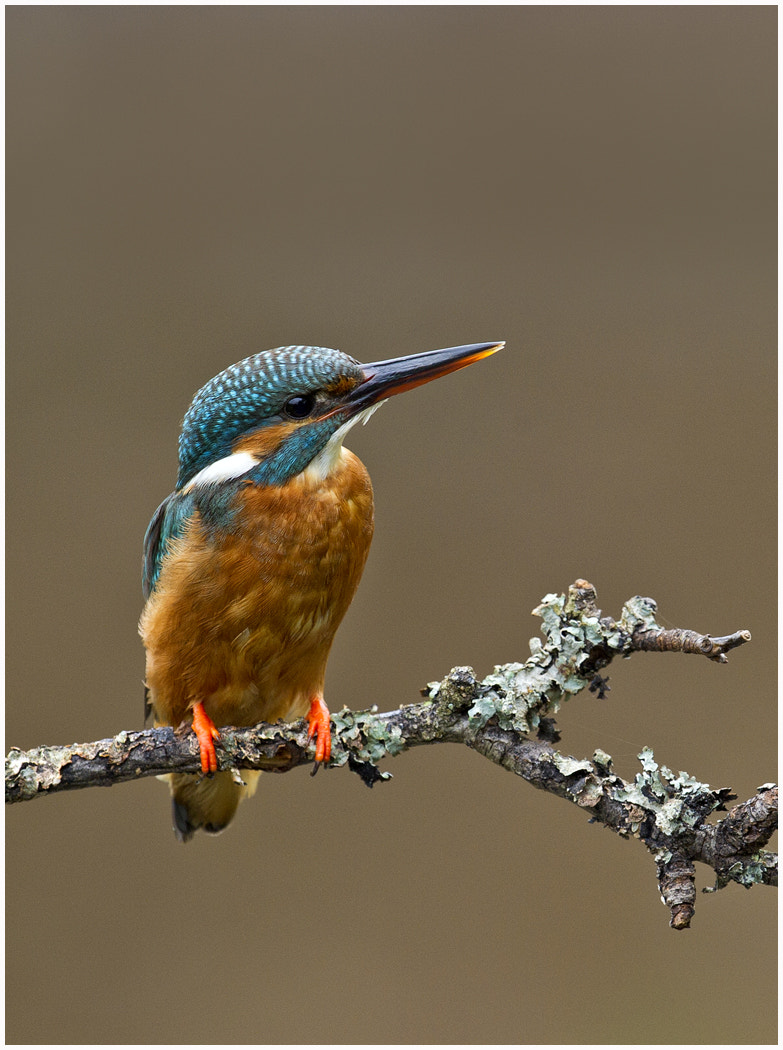 Photograph Kingfisher by Dave Kitson on 500px