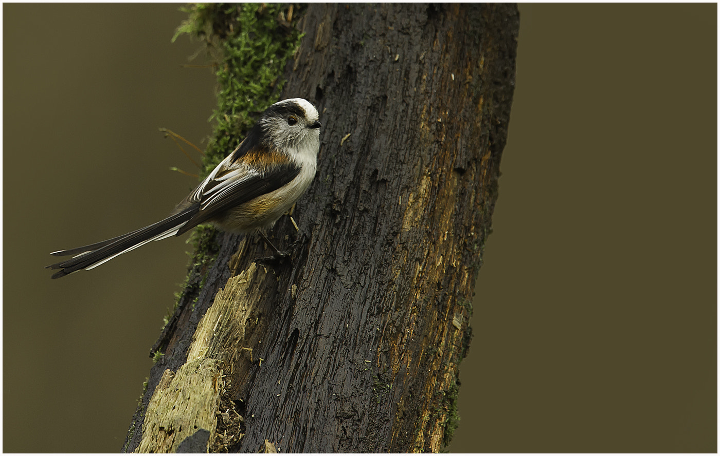 Photograph Long Tail Tit by Dave Kitson on 500px