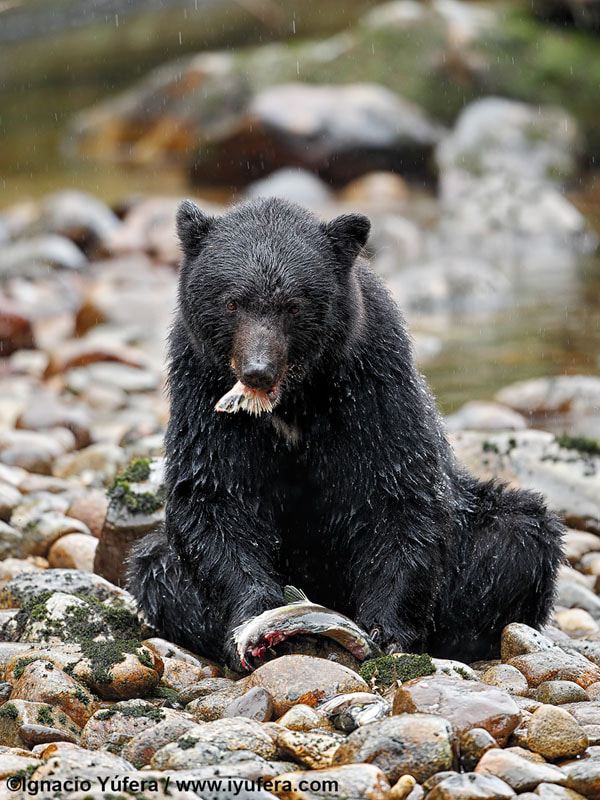 Black bear by Ignacio Yúfera on 500px.com