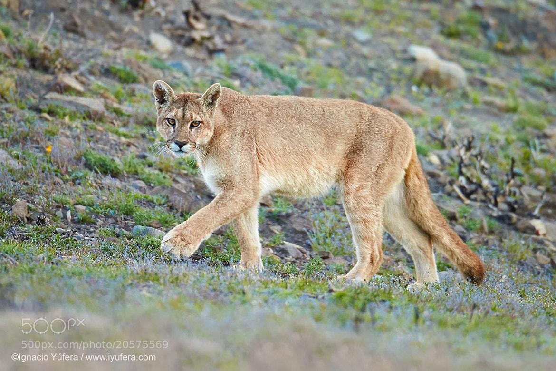 Photograph Wild Puma by Ignacio Yúfera on 500px
