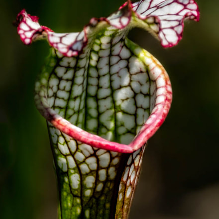 White Capped Pitcher Plant, Fujifilm X-T1, XF100-400mmF4.5-5.6 R LM OIS WR + 1.4x