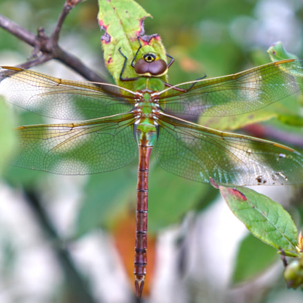 Common Green Darner Dragonfly, Sony ILCE-7RM2