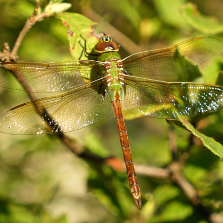 Common Green Darner Dragonfly, Sony ILCE-7RM2, Sony FE 24-70mm F4.0 ZA OSS