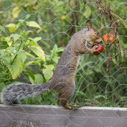 Squirrel Eating from Garden, Nikon D600, AF-S VR Nikkor 600mm f/4G ED