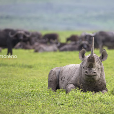 A Relaxed Rhino, Canon EOS-1D X, Canon EF 200-400mm f/4L IS USM + 1.4x