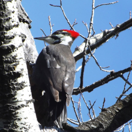 Pileated Woodpecker 2017, Fujifilm FinePix S4300