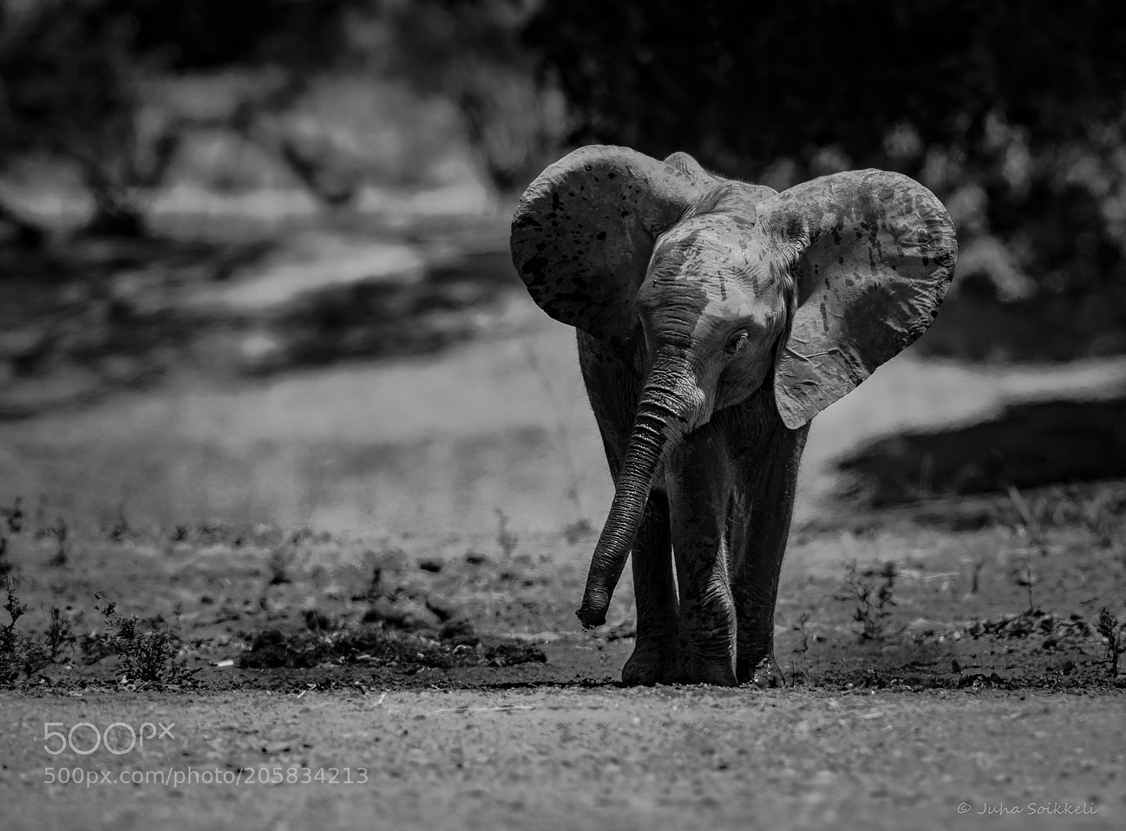 Baby elephant Zambia, Nikon D810, AF-S VR Nikkor 300mm f/2.8G IF-ED