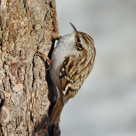 Common Treecreeper, Nikon D7100, AF Zoom-Nikkor 35-80mm f/4-5.6D