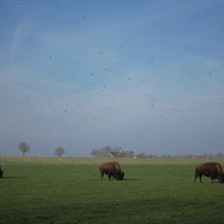 Bison trio with seagull, Canon EOS 550D, Canon EF 40mm f/2.8 STM