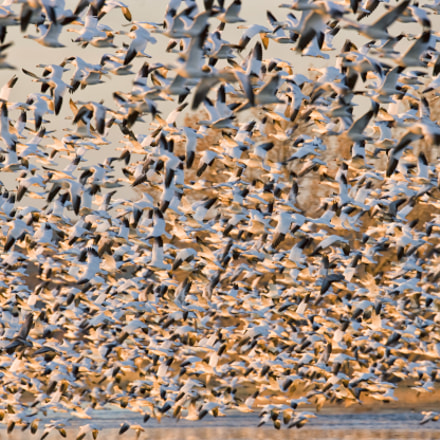 Snow Geese, Canon EOS-1DS MARK II, Canon EF 600mm f/4L IS