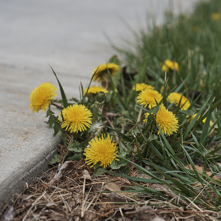 Dandelion on the pavement, Sony ILCE-6000, Sony E 50mm F1.8 OSS (SEL50F18)