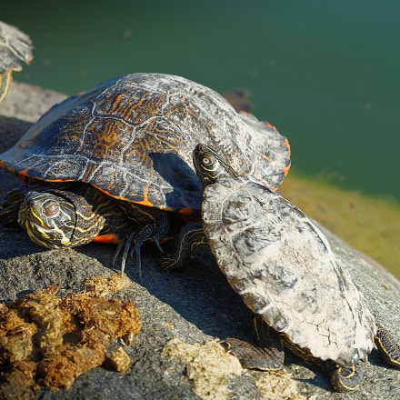 two turtles, Sony ILCE-7M2, Canon EF 80-200mm f/2.8L