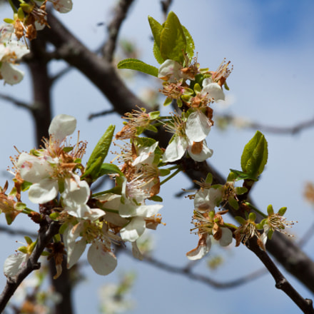 Plum tree flowers at, Canon EOS 500D, Canon EF 100mm f/2 USM
