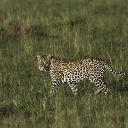 Young male Leopard, Canon EOS-1D X, Canon EF 600mm f/4.0L IS II USM + 1.4x