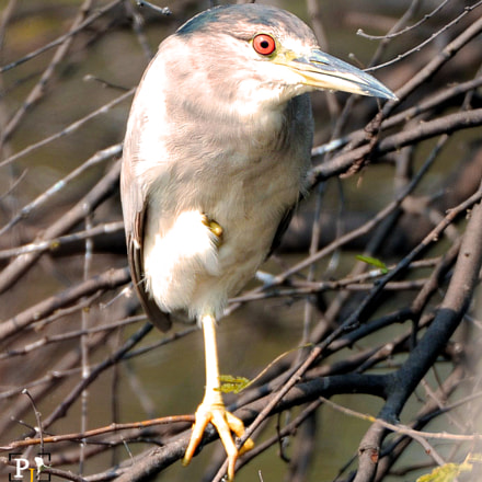 Black-crowned Night Heron, Nikon D3X, AF-S VR Zoom-Nikkor 200-400mm f/4G IF-ED II