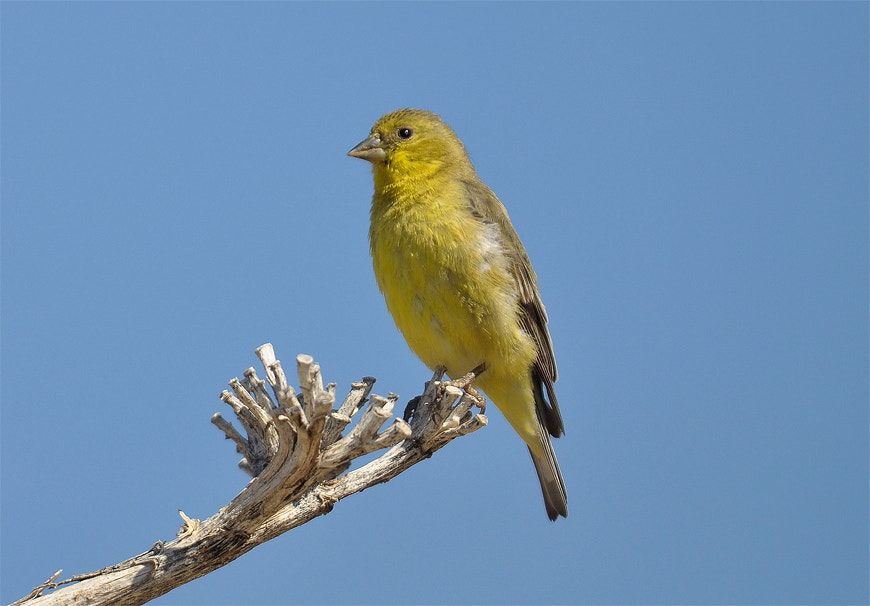 Photograph Lesser Goldfinch  by Luis Jaime Leal on 500px