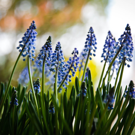 Muscari botryoides, Canon EOS 6D, Sigma 24-70mm f/2.8 EX