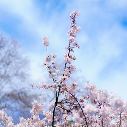 Cherry blossoms in various, Sony ILCE-7RM2