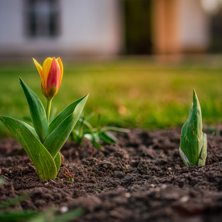 The First Tulip Flower, Nikon D7200, Tamron SP 35mm f/1.8 VC
