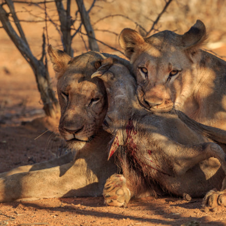 Lion kill, Canon EOS 5D MARK III, Canon EF 500mm f/4L IS II USM