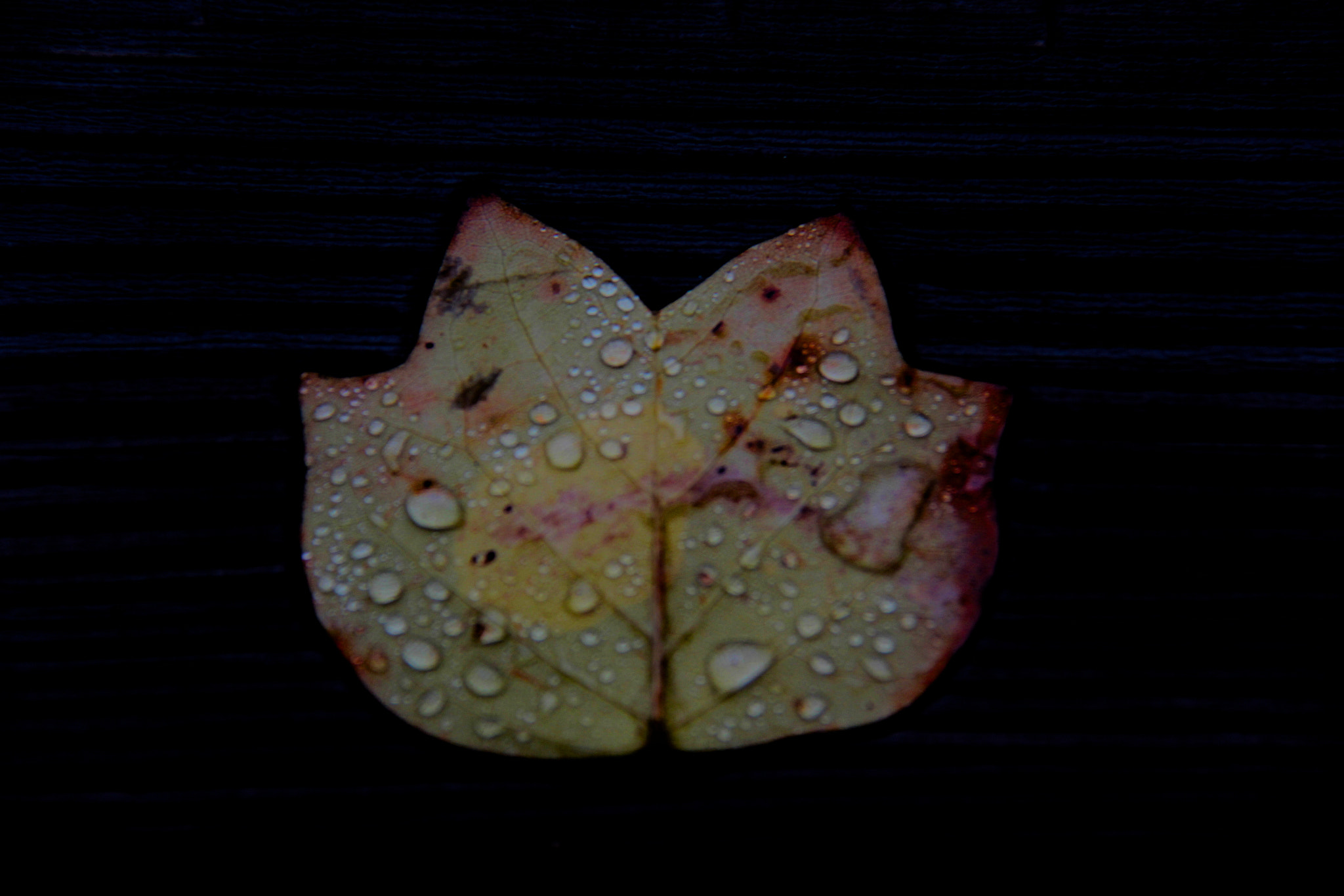 Photograph autumn leaf & water droplets by Rajkiran Ghanta on 500px