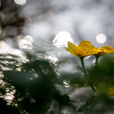Sparkling Waters IV: Marsh-Marigold, Canon EOS 5D MARK III, Sigma 150mm f/2.8 EX DG OS HSM APO Macro