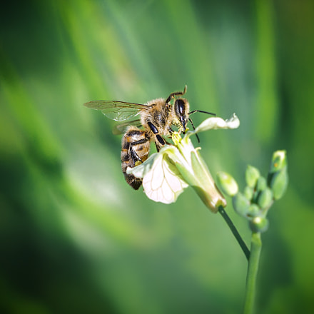 Bee Cool, Canon EOS 650D, Canon EF 100mm f/2.8 Macro USM