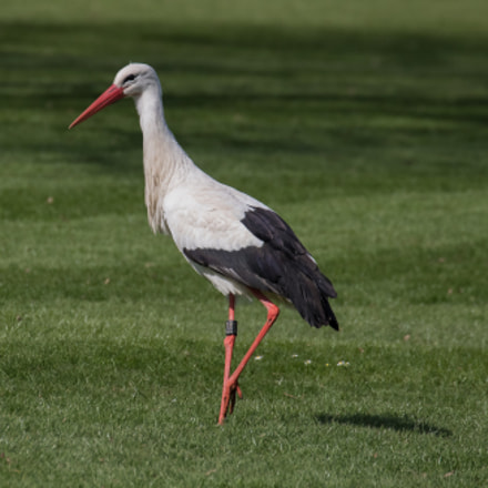 Storch, Canon EOS 7D MARK II, Canon EF 70-300mm f/4-5.6L IS USM