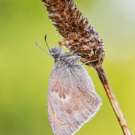 The small heath, Canon EOS 60D, Sigma APO Macro 150mm f/2.8 EX DG HSM