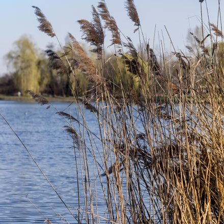 Reeds by the lake, Canon EOS 40D, Canon EF 50mm f/1.8 II