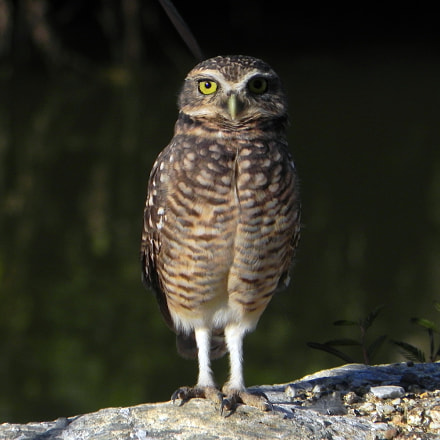 Burrowing Owl, Nikon COOLPIX P100