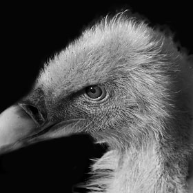 Griffin Vulture by Stephen Bridson (briddie21)) on 500px.com