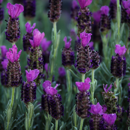 Lavender in The morning, Canon EOS 60D, Canon EF-S 18-135mm f/3.5-5.6 IS