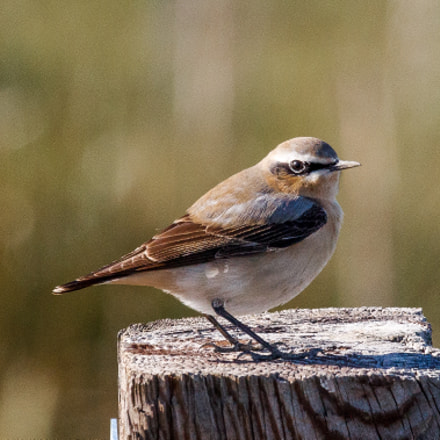Northern wheatear, Canon EOS 60D, Canon EF 100-400mm f/4.5-5.6L IS