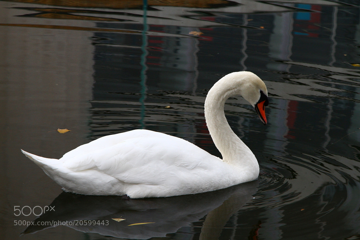 Photograph img 4059 Lonely swan on the grand canal Dublin by Martys Photos on 500px
