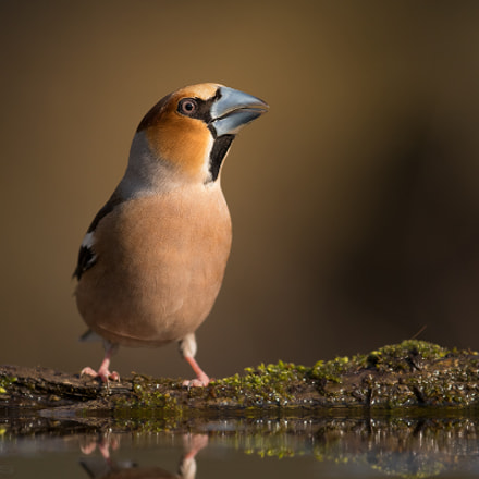 Hawfinch , Canon EOS 7D MARK II, Canon EF 400mm f/4 DO IS