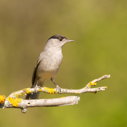 Blackcap, Sony DSLR-A550, Sigma 30mm F1.4 EX DC