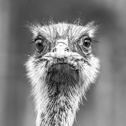 Emu Gaze, Pentax K-7, Sigma EX APO 100-300mm F4 IF