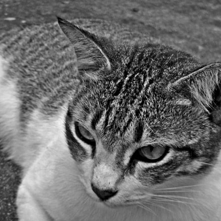 City Cat Portrait Series, Nikon COOLPIX S1200pj